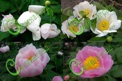 Семена Пион молочноцветковый, 5 семян, многолетник. Цветки розовые и молочно-белые. Цветение раннее, в мае