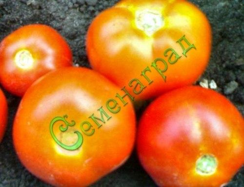 Семена томатов Веселка - среднерослый, до 200 г, ранний, приятно вспомнить. Семенаград - семена почтой