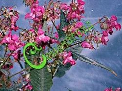 Семена Недотрога Ройля, 30 семян, цветущий до морозов мощный однолетник высотой до 2 м семейства бальзаминовых