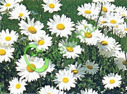Семена Нивяник наибольший «Серебряная принцесса», 30 семян, многолетник, с крупными соцветиями, 70-100 см