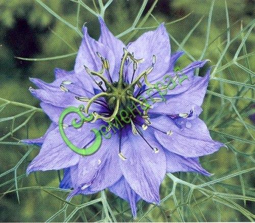Семена нигеллы Нигелла дамасская - 1 уп.-30 семян - оригинальный цветок, высота до 50 см, народное название его «девица в зелени», хороша в сочетании с бархатцами и календулой, однолетник. Семенаград - семена почтой