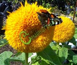 Семена подсолнечника Подсолнечник декоративный «Плюшевый мишка» - оригинальный жёлтый чудик, высота 1,0-1,2 м. Семенаград - семена почтой