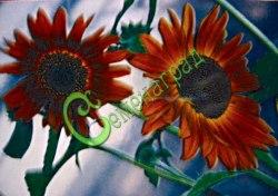 Семена Подсолнечник декоративный «Радуга» - 10 семян - цвет лепестков с радужными переливами, высота 1,4-1,6 м