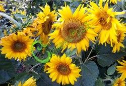 Семена Подсолнечник «Пачино», 10 семян, настоящий подсолнечник, только мини, высотой 30-40 см