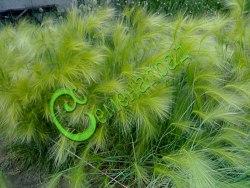 Семена почтой Ячмень гривастый (30 семян - многолетник, приятные колосовидные соцветия для зимних букетов)