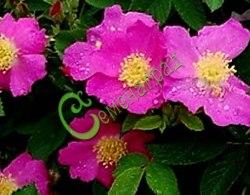 Семена Роза ругоза, 20 семян, красивоцветущий крупноплодный шиповник с махровыми цветками