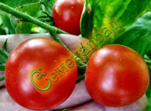Семена томатов Гаврош - до 100 г, скороспелый, усыпной, среднерослый. Семенаград - семена почтой