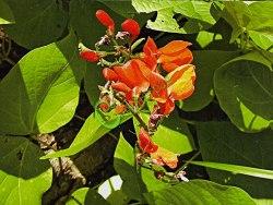 Семена Фасоль многоцветковая (огненно-красная, бобы турецкие) - 5 семян - однолетнее вьющееся растение