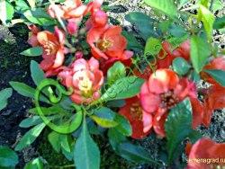 Семена почтой Хеномелес (айва японская) - 20 семян - красивоцветущий плодовый кустарник высотой 1 м