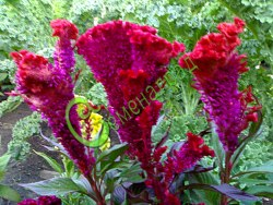"""Семена Целозия """"Петушиный гребешок"""" - 30 семян - соцветия в форме петушиных гребешков, отличный сухоцвет"""