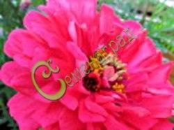 """Семена Цинния георгиноцветковая """"Мечта"""" - 30 семян - высотой 80-90 см, с махровыми лавандово-розовыми цветами"""