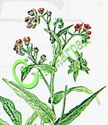 Семена Чернокорень (5 семян - эффективное средство от мышей и крыс в саду и в доме, грызуны уходят с участка)