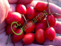 Семена Шиповник «Бесшипный ВНИВИ» (20 семян - шипы полностью отсутствуют, плоды гладкие, крупные. Высота куста 2,3 м)
