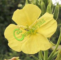 Семена Энотера двухлетняя (ночная свеча) - 30 семян - двухлетник, цветет VI-X, крупные жёлтые цветы распускаются при заходе солнца