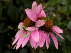 Семена Эхинацея пурпурная (30 семян – многолетник, до 1 м, декоративна, обладает бактерицидным, общестимулирующим действием)