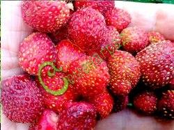 Семена Клубника Миланская - 30 семян, гибрид лесной и садовой земляники, отличается высокой урожайностью и ароматом