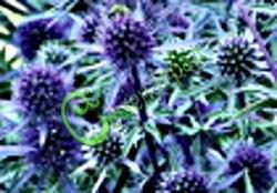 Семена Синеголовник плосколистный (эрингиум) - 30 семян - многолетник, голубой необычный сухоцвет