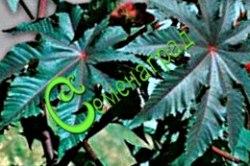 Семена Клещевина Гибсона - 3 семени - высотой до 1,5 м, отличается яркими листьями с металлическим блеском