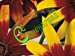 Семена Рудбекия Хирта Глориоза Дейзи, 30 семян, многолетник, цветки с тёмным центром и разноцветными лепестками