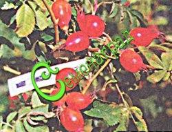 """Семена Шиповник """"Витаминный ВНИВИ"""" (20 семян - плоды крупные, гладкие, кисло-сладкие, не осыпаются"""
