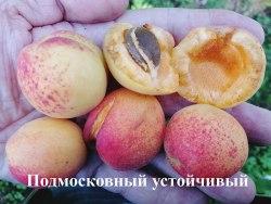 Саженцы абрикоса «Подмосковный устойчивый» 1-летний саженец Садоград
