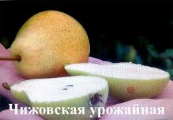 Саженцы груши «Чижовская урожайная» 1-летний саженец Садоград