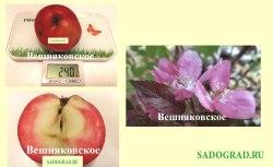 Саженцы яблони Вешняковское 1-летний саженец Садоград