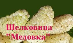 Саженцы шелковицы белой, тутовник (Morus alba) «Медовка» 1-летний саженец Садоград