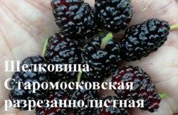 Саженцы шелковицы белой, тутовник (Morus alba) «Старомосковская разрезаннолистная» 1-летний саженец Садоград