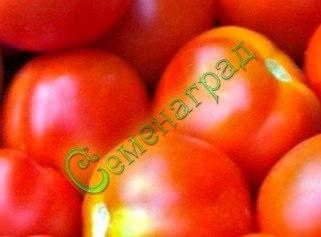 Семена томатов Лебяжинский - среднерослый, ранний, до 100 г, округлый, плотный, в солку, класс. Семенаград - семена почтой