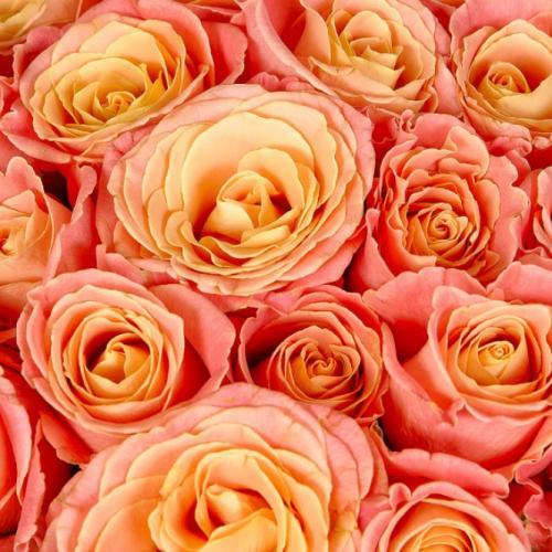 Букет роз Мисс Пигги (25шт./60 см)