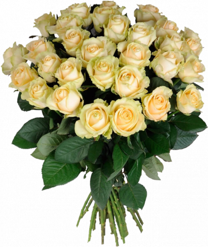 Букет из кремовых роз Пич Аваланч 31 шт, 60 см