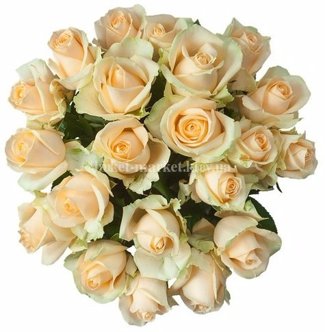 Букет цветов из кремовых роз Пич Аваланч 21 шт, 50 см