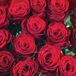Роза Мадам Рэд (Madam Red)