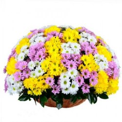 Корзина с разноцветными хризантемами