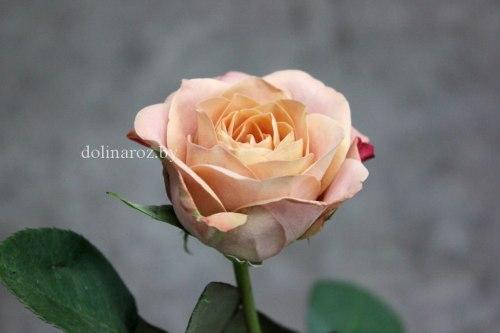 Роза Капучино (Cappuccino)