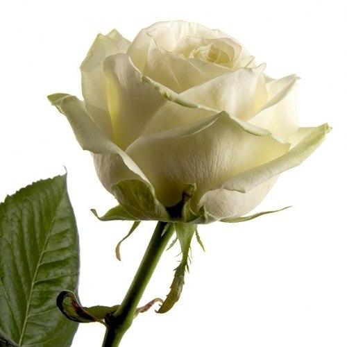 Роза Уайт Наоми (White Naomi)