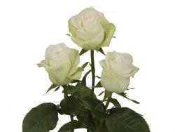 Роза Альба (Alba)