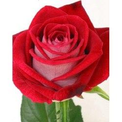 """Роза """"Luxor"""""""