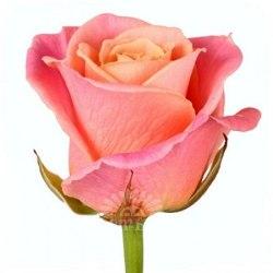 """Роза """"Miss Piggi"""""""