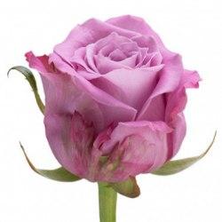 Роза Мэритим (Maritim)
