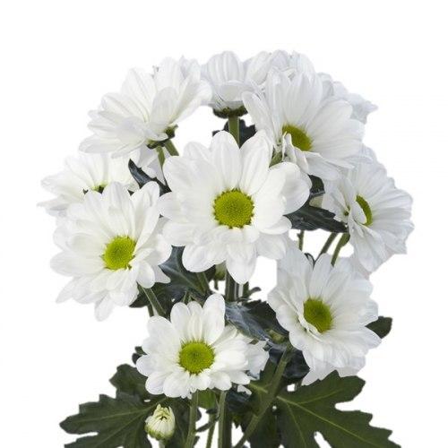 Кустовая ромашковая хризантема (белая)