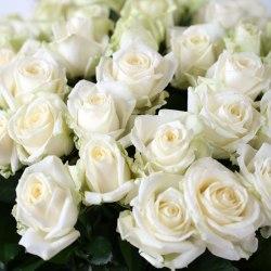 "Роза ""Avalanche"""