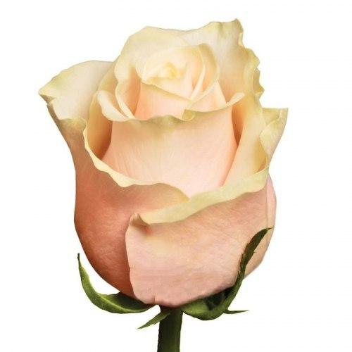 Роза Талея (Talea)