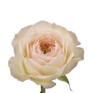 Пионовидная роза Роял Парк (Royal Park)