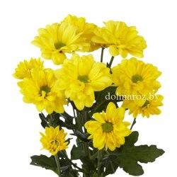 Желтая кустовая хризантема (ромашка)