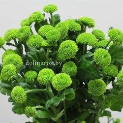 Зеленая кустовая хризантема