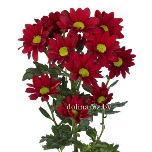 Красная кустовая хризантема (ромашка)