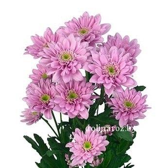 Сиреневая кустовая хризантема Фианна (Fianna)
