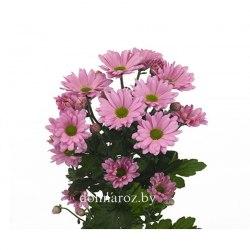 Сиреневая кустовая хризантема (ромашка) Катинка (Katinka)